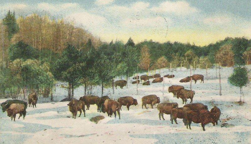 Corbin Park buffalo herd